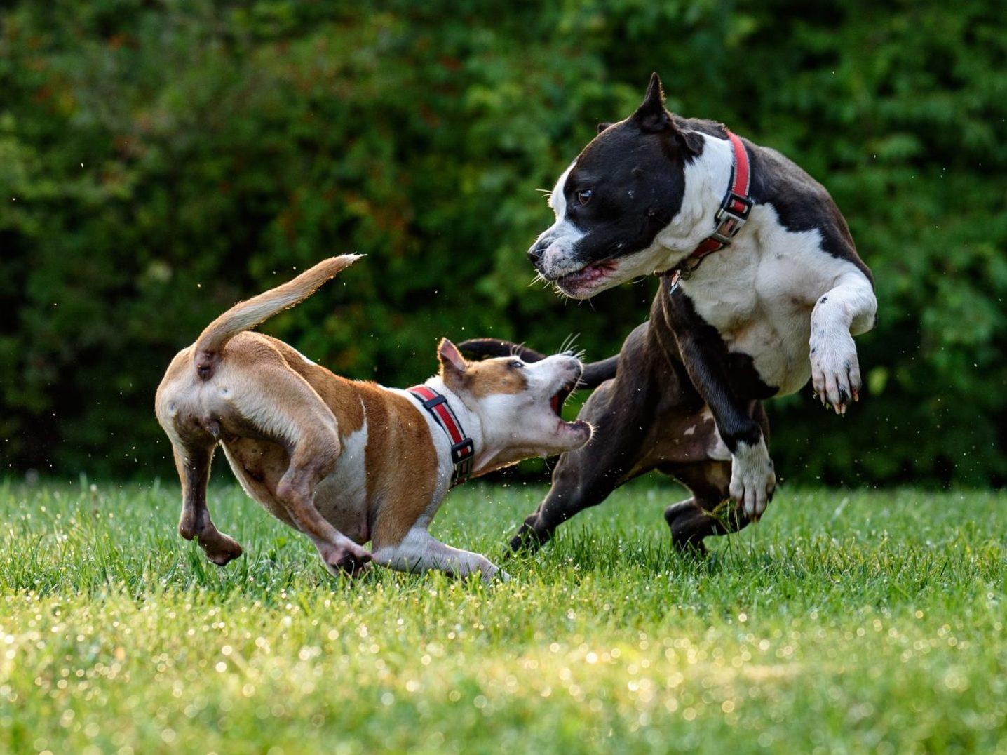 americký stafford pes