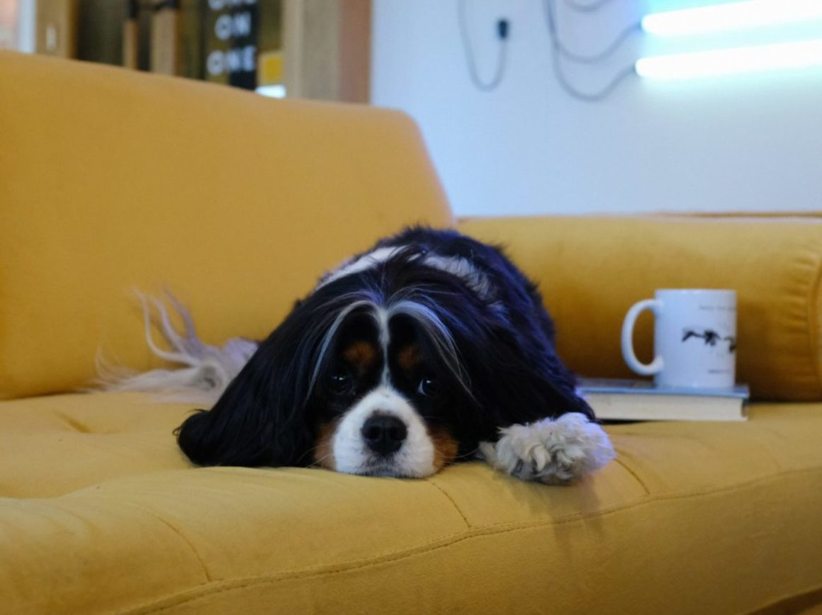 pes na pohovce