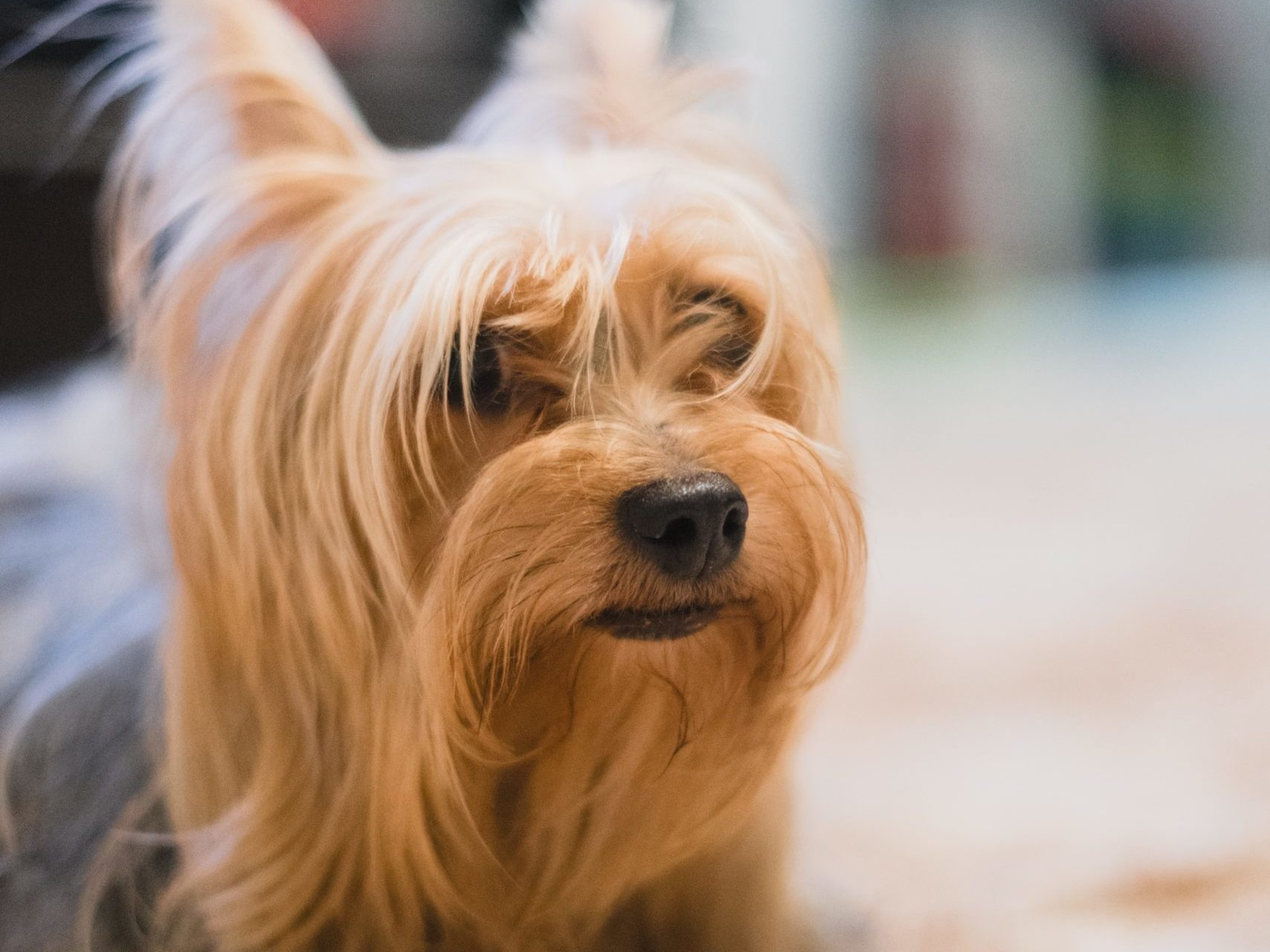 suilky terrier pes