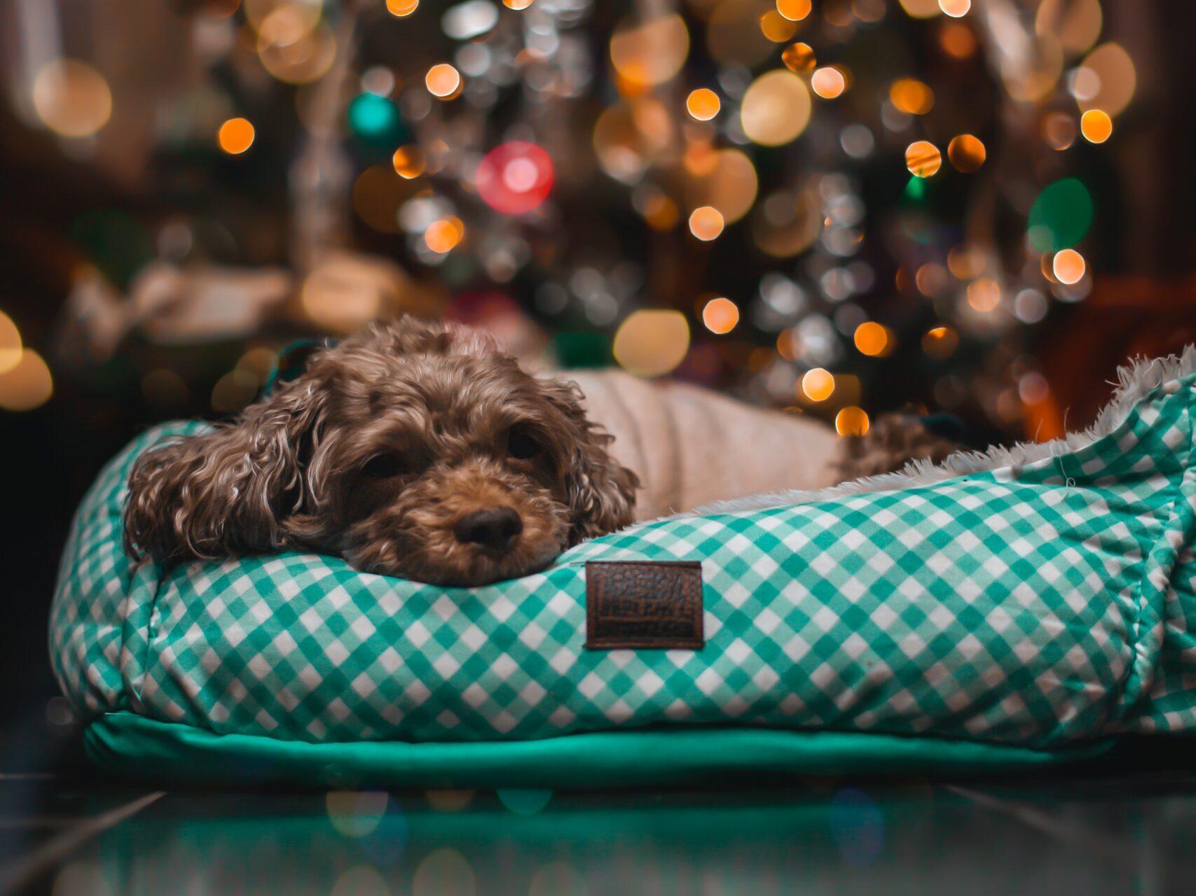 pes jako dárek