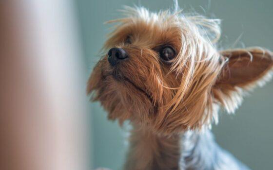 brown coated dog