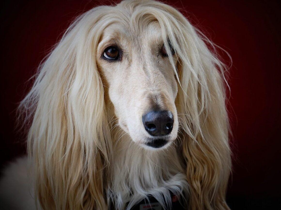 adult long-coated yellow dog