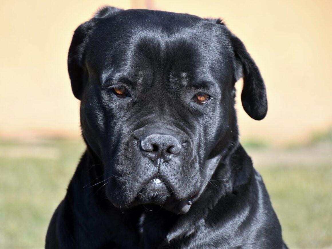 cane-corso-4015352_1920