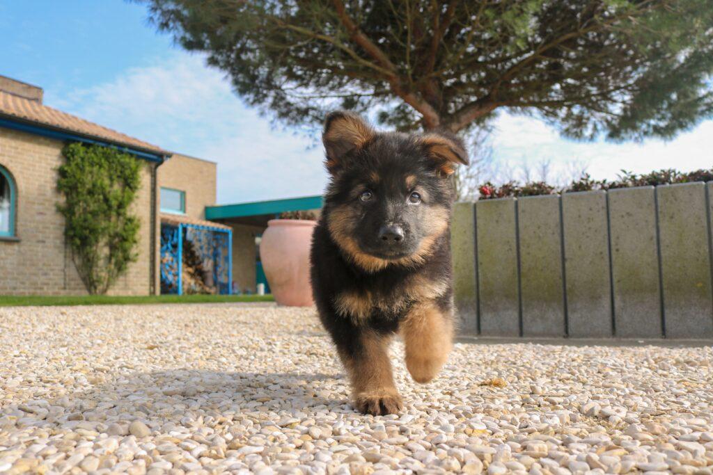 black and tan german shepherd puppy on brown dirt during daytime