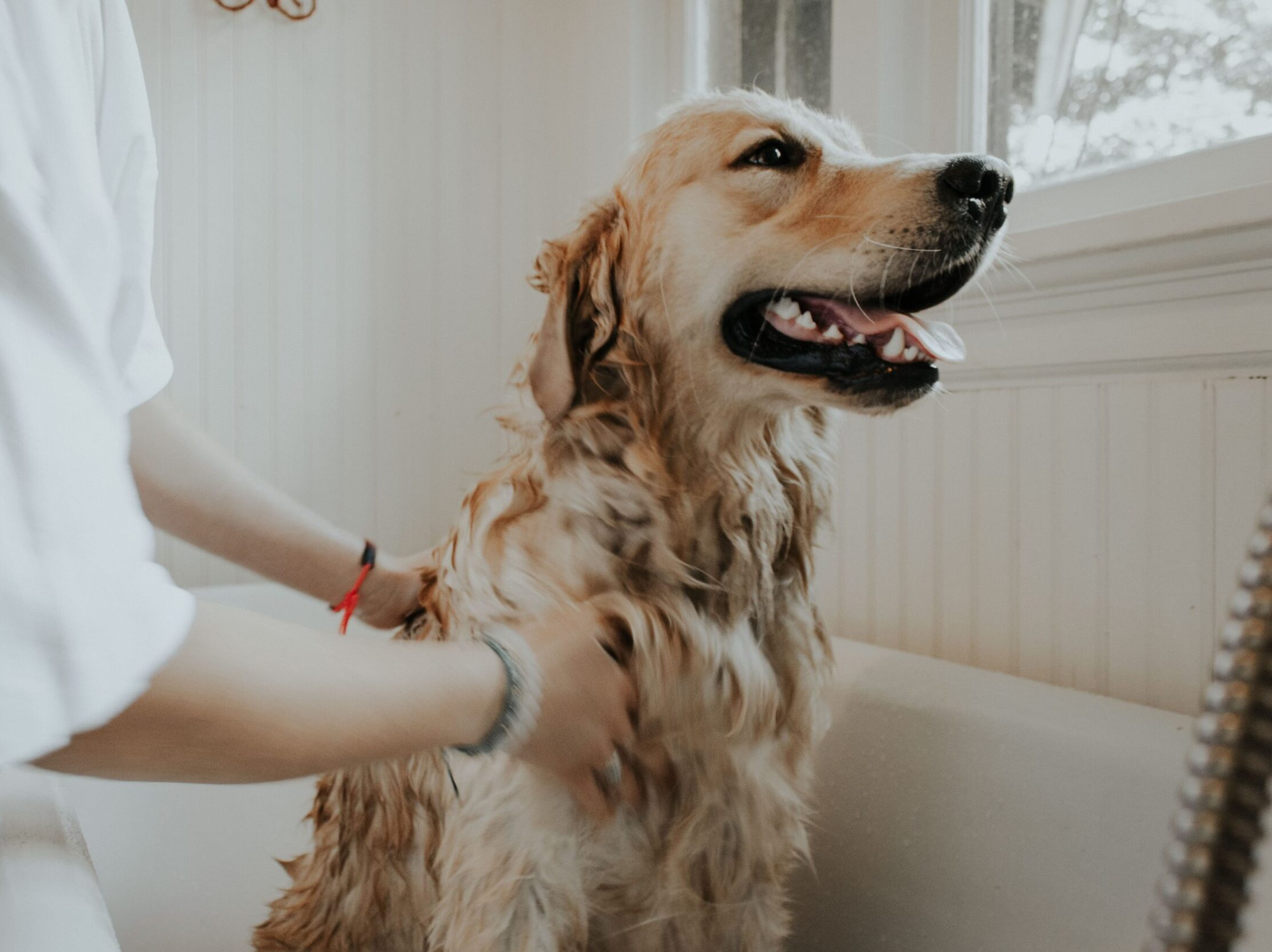 adult golden retriever taking a bath
